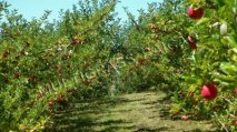 Applicating Baicao Products on Organic Fruit trees